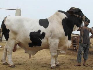 Qurbani Eid 2015- Bakra Eid Cows-Prices of Fatest Cows- Prices Of